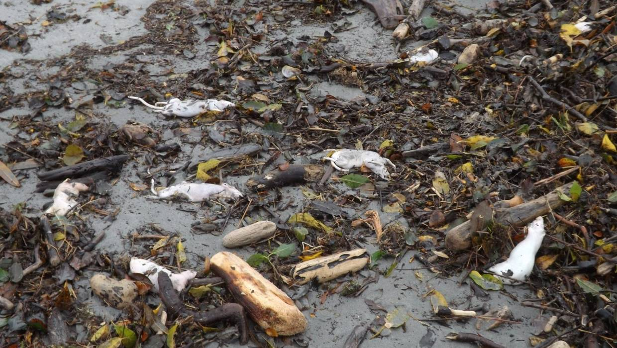 , West Coast Beach Dead Rats Almost Certainly Toxic 1080 Carcasses